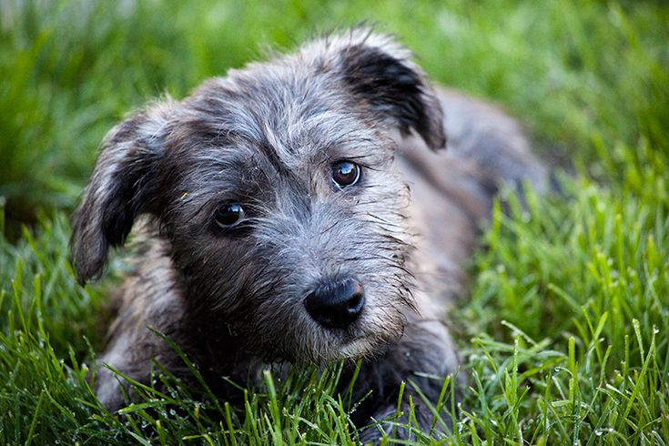 glen of imaal terrier | blue brindle puppy glen of imaal terriers which are called glens for ...