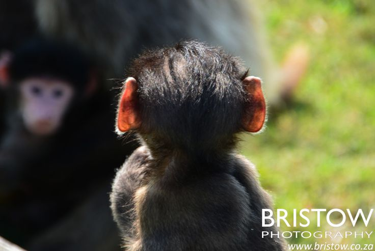 Baboons, photographed by Bristow Photography. www.bristow.co.za