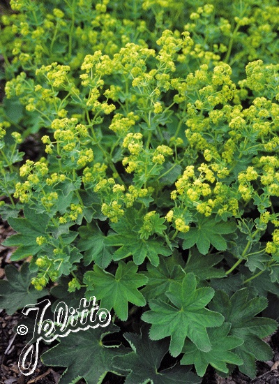 Lady's mantle (Alchemilla 'Gold Strike') --- frothy flowers and interesting scallop-shaped leaves.
