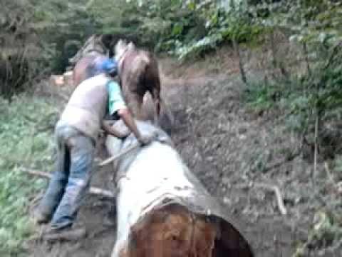 Vuča trupca - Teška kategorija. Konji u vlasništvu Branimira Hinića iz Vrhovina na treningu za takmičenje.