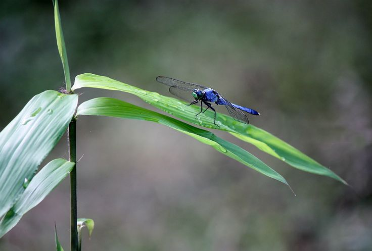 Blue Dragonfly and Wild Bamboo.  SE Texas, USA by The Pond Plant Girl