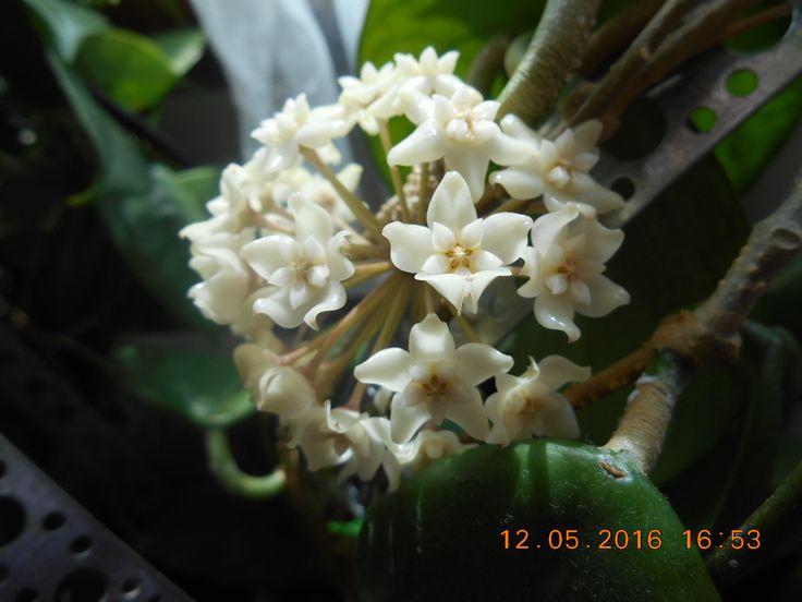 Hoya arnottiana