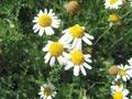 Chamomile is especially suited for a rock wall garden. It's light and airy growth habit will look attractive against the solid background, and if your rock wall is tall enough, this will raise the chamomile up to an easier to harvest height. The cloudlike growth will soften the lines of a rock wall, yet the two compliment each other well.