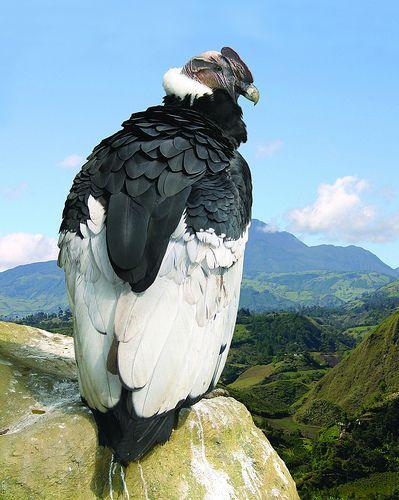 COLOMBIA TIERRA QUERIDA: CONDOR - AVE NACIONAL