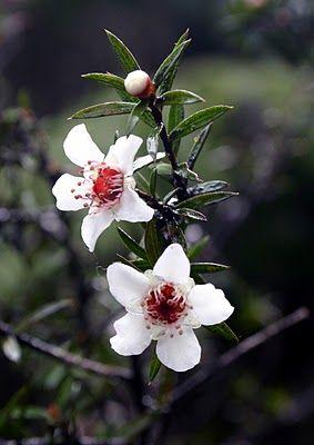 Leptospermum scoparium manuka flowers