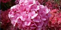 How to Split Hydrangea Plants | eHow.com: If your well-established hydrangea is especially large and has become unhealthy, you may be able to divide it into several small, healthy hydrangea bushes. For the best chance of success, divide your hydrangea bushes in early spring.