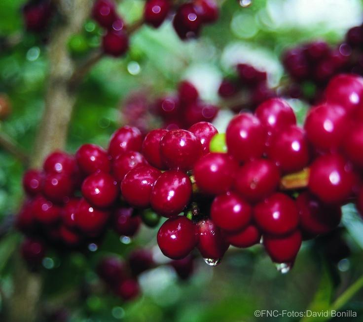 Planta de café / Coffee plant