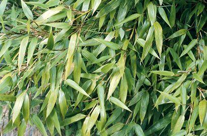 RHS Plant Selector Phyllostachys aurea AGM / RHS Gardening