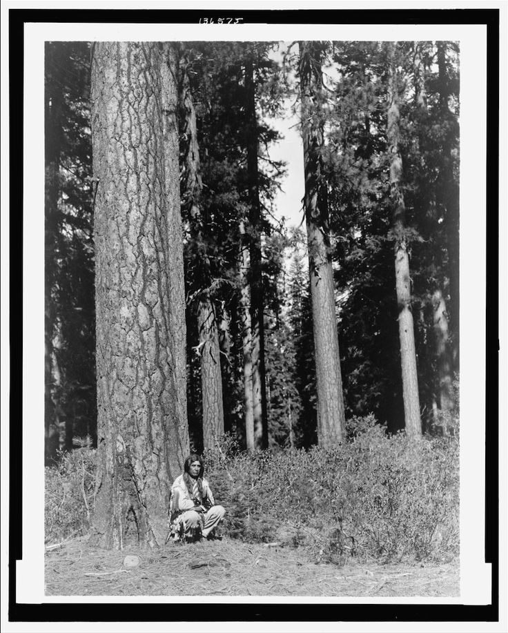 Photograph shows a Klamath man in traditional dress squatting next to an enormous tree in a forest of Ponderosa Pines, probably in the Klamath Basin in Oregon. - Curtis - 1923