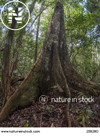 A vertical panoramic of a Mora tree (Mora excelsa) in Iwokrama