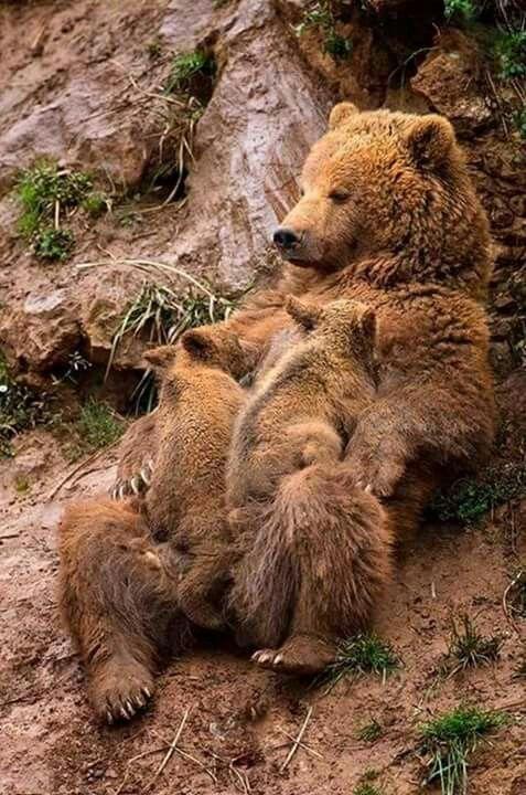 Erzincan,  Kemaliye, Eyin  boz ayı ve yavruları. ❤