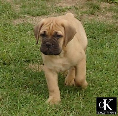 bull mastiff..seriously cute!!