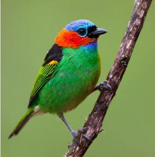 * Saíra-Militar/Soldadinho*Saíra-de-Lenço/Verdelim/Saíra-de-Pescoço-Vermelho * (Tangara cyanocephala).