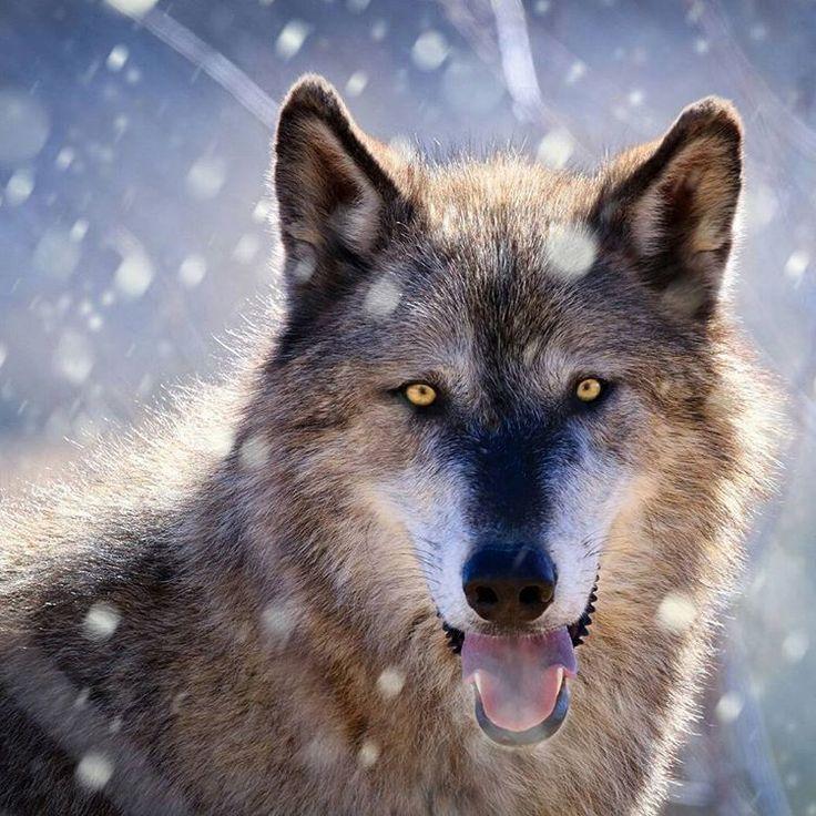 Κατέβηκαν οι λύκοι - Ardan News
