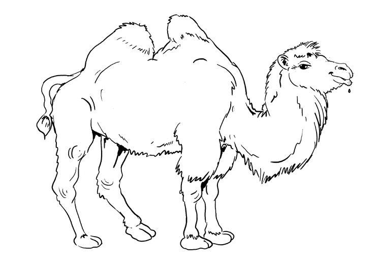 Картинка для раскраски верблюд