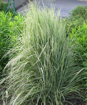 65 best images about cool season ornamental grasses on for Tall green ornamental grass