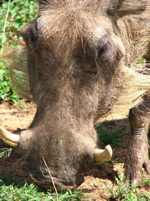 Warthog in the Kruger National Park