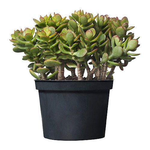 CRASSULA Potted plant IKEA