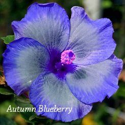 Autumn Blueberry Hibiscus, Hibiscus Seeds, 10 Seeds, Perennial Hibiscus, Hibiscus Flower Idahoseeds http://www.amazon.com/dp/B00LIF0E7A/ref=cm_sw_r_pi_dp_y6Hbvb0Y5FA2D