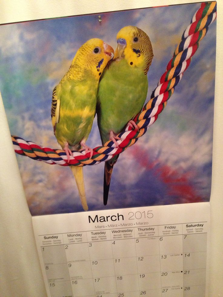 2015 budgie calendar