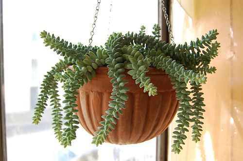 String of Pearls (Senecio rowleyanus). This is probably the most famous cascading succulent and it's native to South Africa. It looks like burro's tail but it has very beautiful pea-shaped leaves that resemble pearls. The plant has these little beads bubbling up from the center of the container and then spill over the sides. It can cascade down over a foot. This makes it into a perfect plant for hanging baskets. This succulent can be grown in the milder climates, such as in the Bay Area.