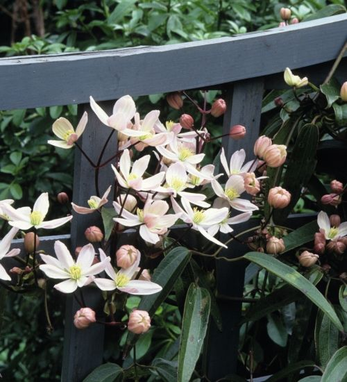 Clematis armandii 'Apple Blossom' - March-April flowering. Vanilla scented. No pruning necessary, but do ensure you do lots of tying in with soft ties. Group 1