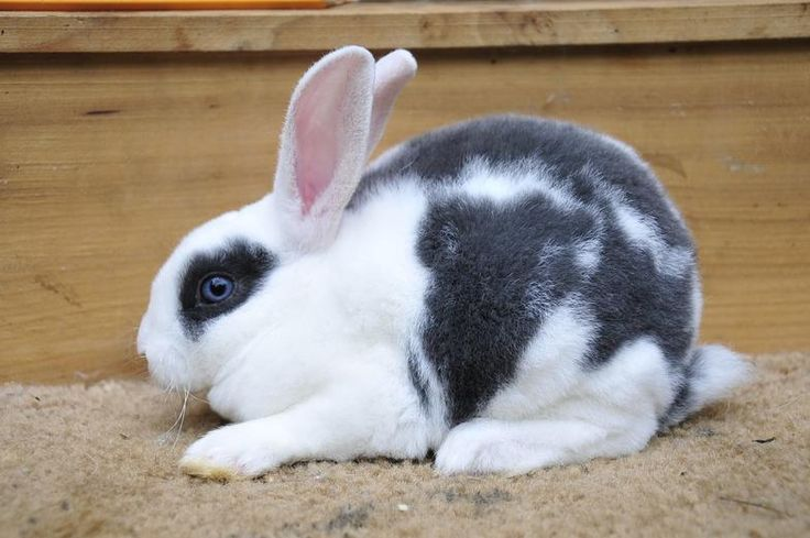 Broken Blue with blue eyes (Vienna gene) | Mini Rex ...