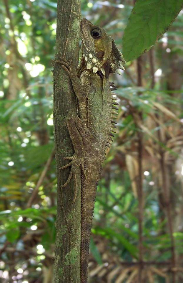 Boyd's Forest Dragon (Hypsilurus boydii or Gonocephalus boydii) is restricted to the rainforests of northern Queensland, Australia, from just north of Townsville to near Cooktown.