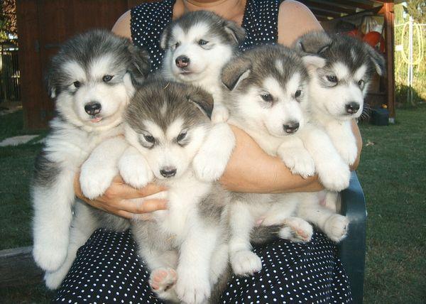 Husky puppies. yes please: Dogs, Siberian Husky, So Cute, Pet,  Malemute, Alaskan Malamute Puppies, Husky Puppies,  Alaskan Malamute, Adorable Animal