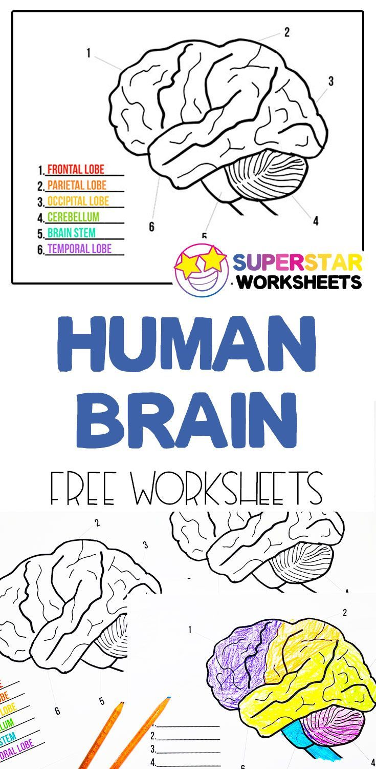 Human Brain Worksheets   The brain for kids [ 1500 x 735 Pixel ]