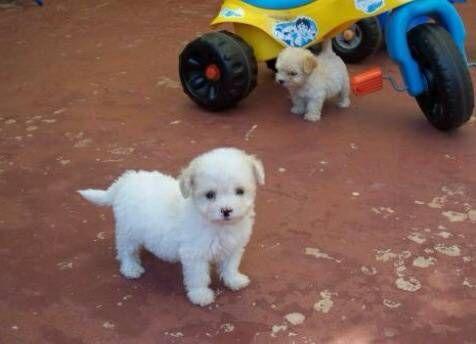 8 week old Maltese Poodle puppy puppies