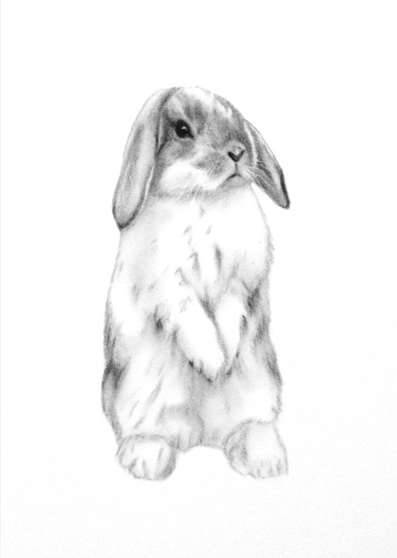 Rabbit Art ORIGINAL 5x7 Charcoal Lop Eared Bunny por JaclynsStudio