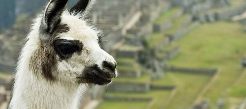 Machu Picchu and llamas go together like cake and ice cream. Read some llama facts on our blog at andllamas.com
