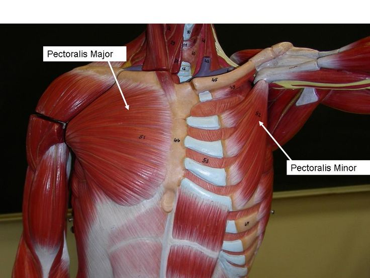 Chest and arm muscles labeled models biceps brachii