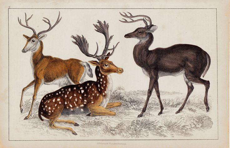 1840 Antique DEER print DEER species by TwoCatsAntiquePrints