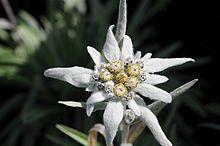 The natioal flower.  http://en.wikipedia.org/wiki/Leontopodium