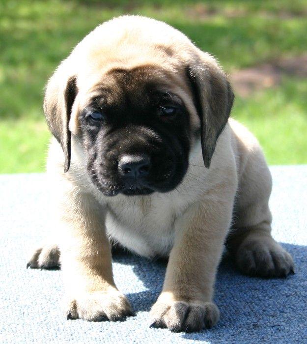 english mastiff puppies price | Zoe Fans Blog