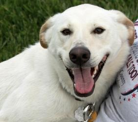Nova is an adoptable Labrador Retriever Dog in Hartford City, IN. Nova is pure uninhibited joy ! This sweet boy is always smiling and he's always ready to get in your lap !  Nova was adopted from the ...: Labrador Retriever Dogs, Pet Hope, Shelters Pet, Adoption Labrador