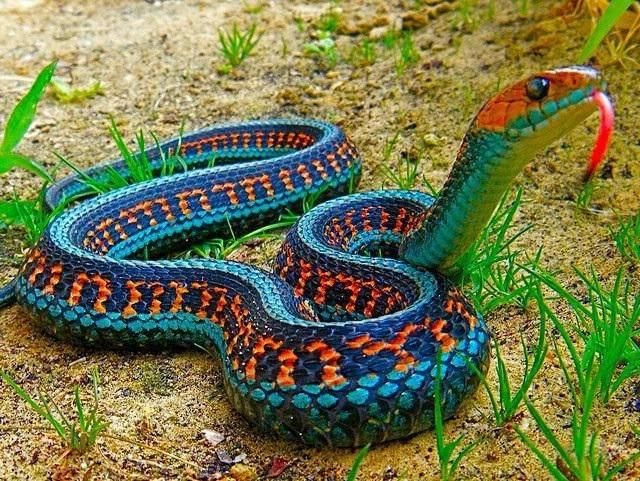 ring snake s colors are