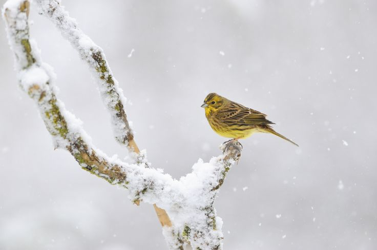 For farmland birds like the yellowhammer winter can be a challenge