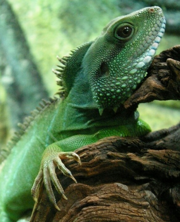 Chinese water dragon   Dragons   Pinterest