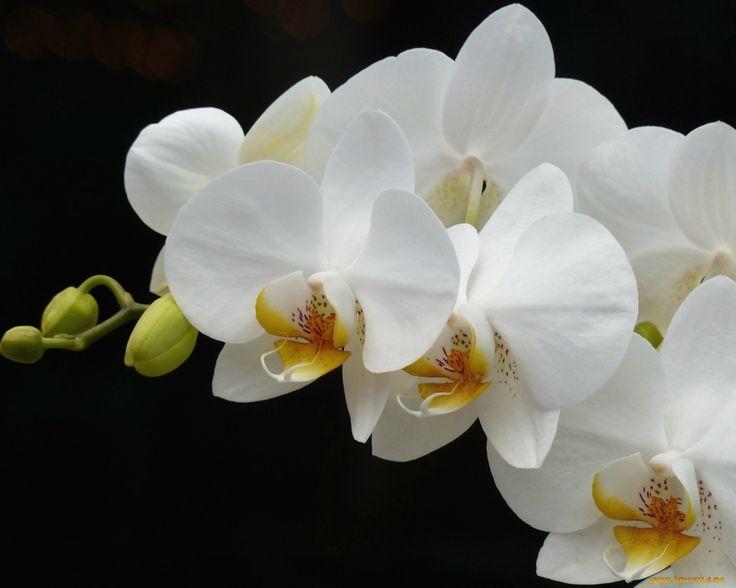 Обои Цветы Орхидеи, обои для рабочего стола, фотографии цветы, орхидеи, орхидея, ветка, белый Обои для рабочего стола, скачать обои картинки заставки на рабочий стол.