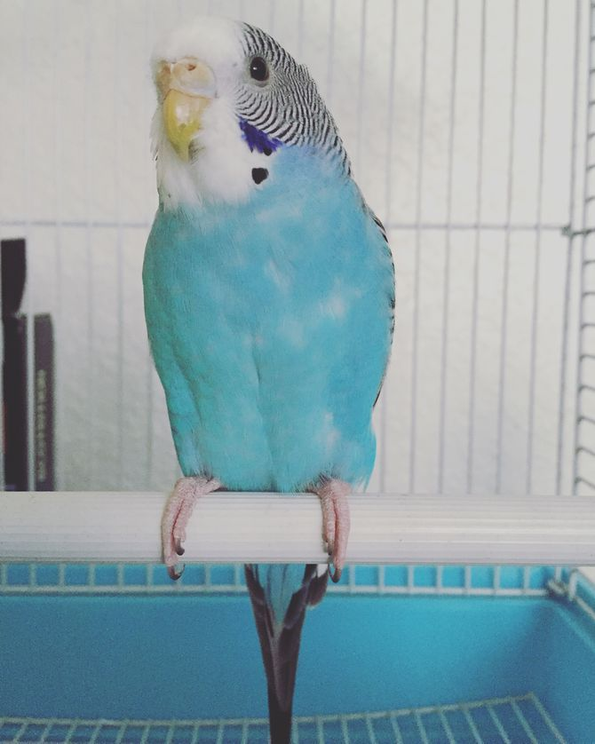 How to Teach Parakeets to Talk: 11 Steps (with Pictures)