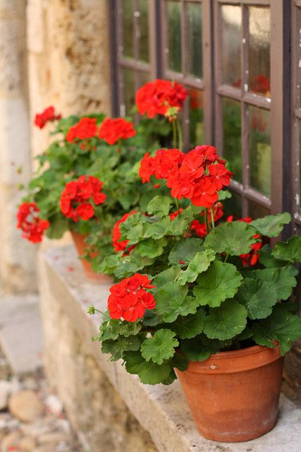These!  Lots and lots of these!  Lovely red Geraniums liven up any window, garden, porch or deck. Easy to grow!