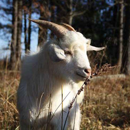 778 Best Goat Farm Images On Pinterest: 47 Best Get Your Goat Images On Pinterest