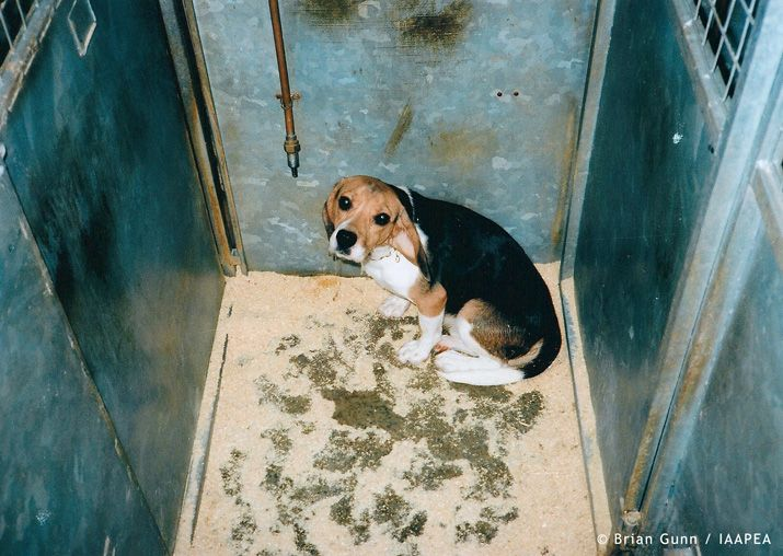 Animal Experiments Pictures - Beagle Dog Laboratory Vivisection ...