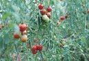 When Tomato Plants Stop Bearing Fruit, Can They Be Cut Back? | Home Guides | SF Gate