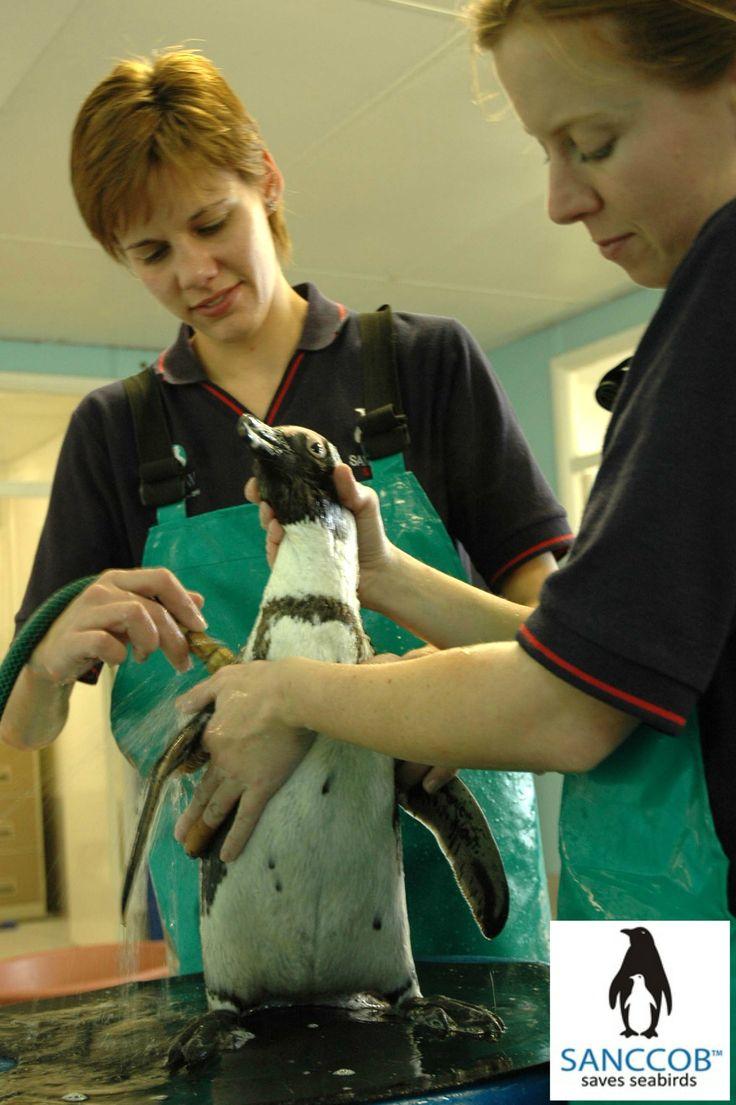 Washing an African Penguin at SANCCOB