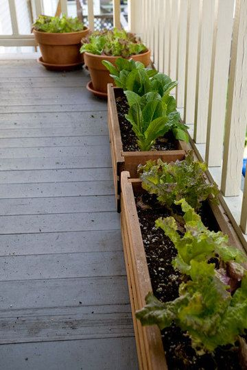 Growing lettuce on your porch. Plant seeds in succession about a week apart, that way you'll have greens all summer.