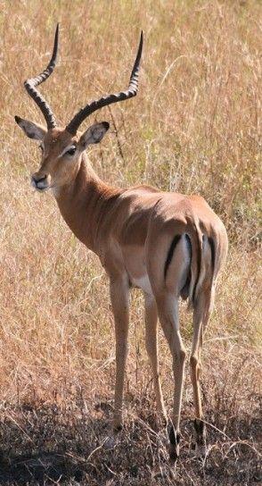 impala-della-savana.jpg (294×544)